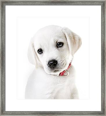 Adorable Yellow Lab Puppy Framed Print by Diane Diederich