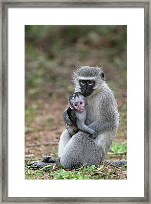 Adult Female Vervet Monkey With Young Framed Print by Tony Camacho