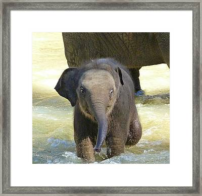 Adventurous Baby Asian Elephant  Framed Print by Margaret Saheed