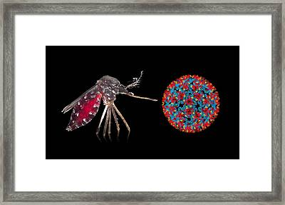 Aedes Mosquito And Chikungunya Virus Framed Print by Science Photo Library