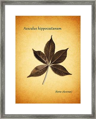 Aesculus Hippocaslanum Framed Print by Mark Rogan