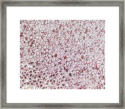 Aflatoxin Fungal Plant Infection Framed Print by Pan Xunbin