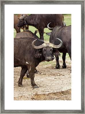 African Buffalo Or Cape Buffalo Framed Print by Martin Zwick