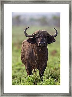 African Buffalo (synercus Caffer Framed Print by Martin Zwick