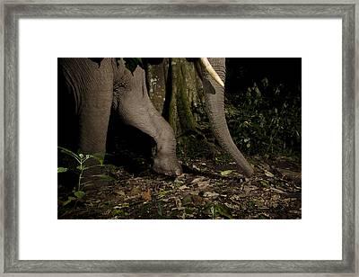 African Elephant Night Walk Kibale Np Framed Print by Sebastian Kennerknecht