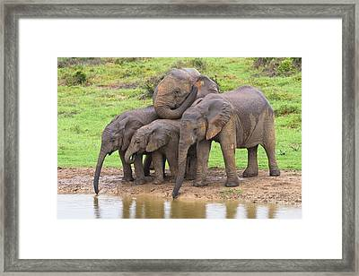 African Elephants Framed Print by Science Photo Library