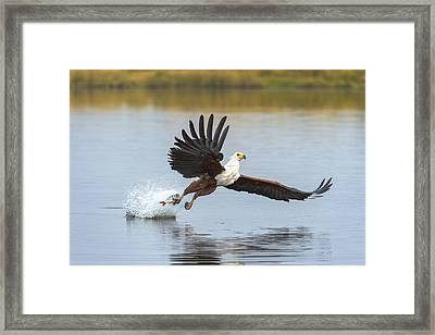 African Fish Eagle Fishing Chobe River Framed Print by Andrew Schoeman