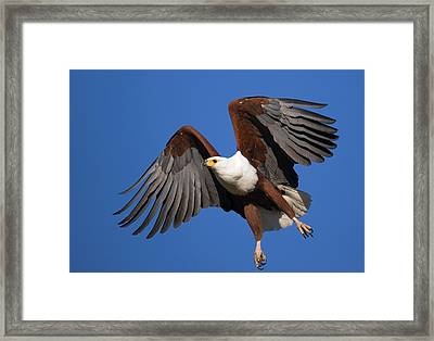 African Fish Eagle Framed Print by Johan Swanepoel