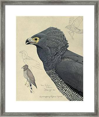 African Harrier-hawk Framed Print by Louis Agassiz Fuertes
