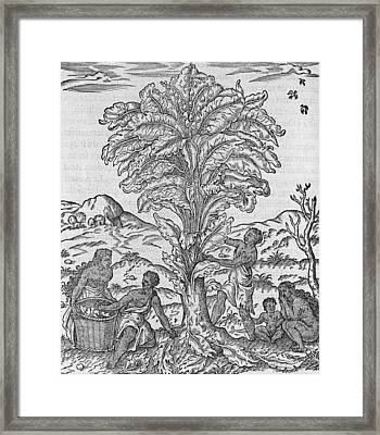 African Herbal Tree, 16th Century Framed Print by Science Photo Library