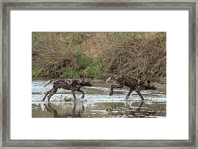 African Hunting Dog Pups At Play Framed Print by Tony Camacho