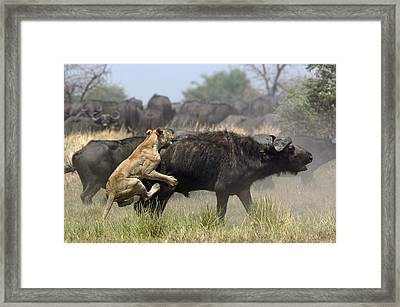 African Lion Attacking Cape Buffalo Framed Print by Pete Oxford