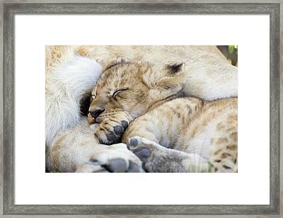 African Lion Cub Sleeping Framed Print by Suzi Eszterhas