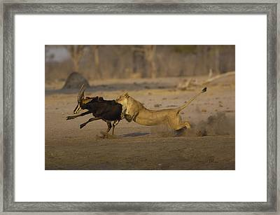 African Lioness Attacking Sable Framed Print by Pete Oxford