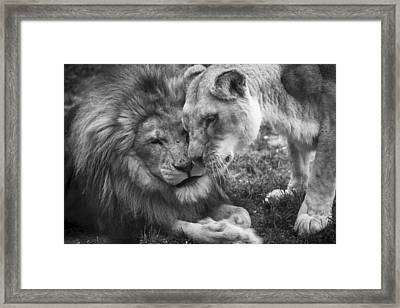 African Lions In Love Framed Print by Ellie Teramoto