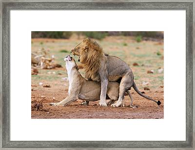 African Lions Mating Framed Print by Simon Booth