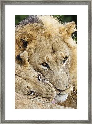 African Lions Framed Print by Science Photo Library