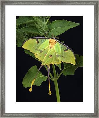 African Moon Moth Argema Mimosae Framed Print by Robert Jensen