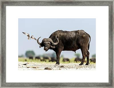 African Skimmer Mobbing A Cape Buffalo Framed Print by Peter Chadwick