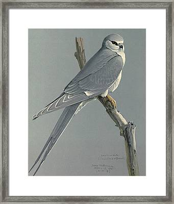 African Snow Tailed Kite Framed Print by Louis Agassiz Fuertes