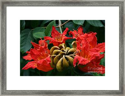 African Tulip Tree Framed Print by Sharon Mau