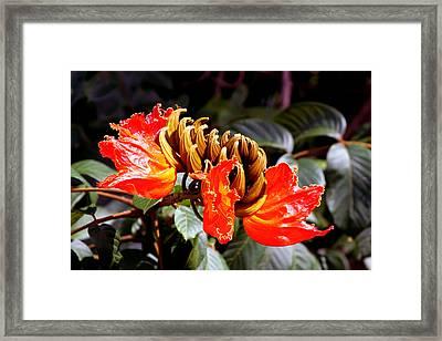 African Tulips Framed Print by Karon Melillo DeVega
