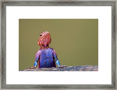 Agama Lizard Kenya Africa Framed Print by Panoramic Images