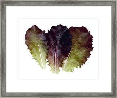 Agriculture - Baby Red Leaf Lettuce Framed Print by Ed Young