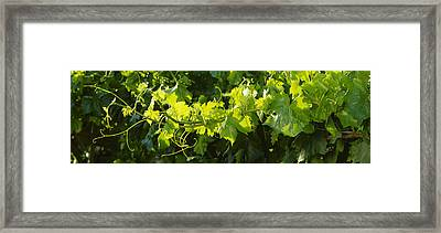 Agriculture - Closeup Of A Backlit Framed Print by Randy Vaughn-Dotta
