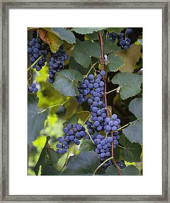 Agriculture - Concord Tablejuice Grapes Framed Print by Gary Holscher
