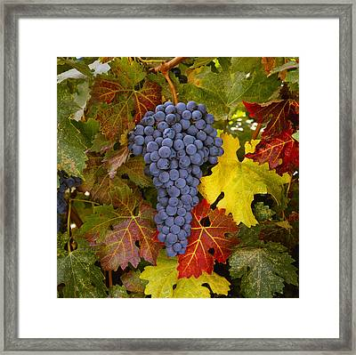 Agriculture - Mature Cabernet Sauvignon Framed Print by Ed Young
