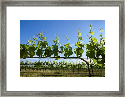 Agriculture - Wine Grape Vineyard Framed Print by Ed Young