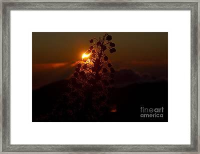 Ahinahina - Silversword - Argyroxiphium Sandwicense - Sunrise On The Summit Haleakala Maui Hawaii  Framed Print by Sharon Mau