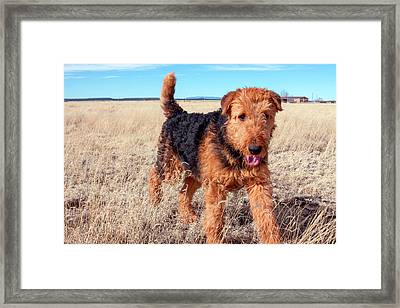 Airedale Terrier In A Field Of Dried Framed Print by Zandria Muench Beraldo