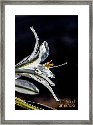 Ajo Lily Close Up Framed Print by Robert Bales