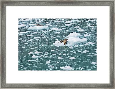 Alaska Seals Framed Print by Aimee L Maher Photography and Art Visit ALMGallerydotcom