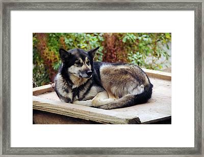 Alaskan Husky, Denali National Park Framed Print by Michel Hersen