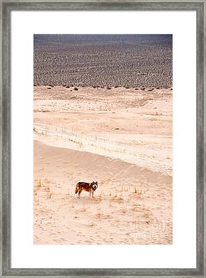 Alaskan Malamute At Mojave National Framed Print by Mark Newman