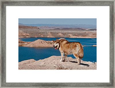 Alaskan Malamute Framed Print by Mark Newman
