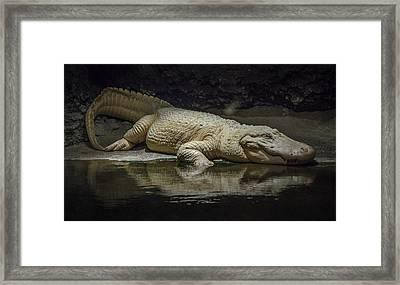 Albino Alligator Framed Print by Jon Stephenson
