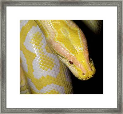 Albino Burmese Python Framed Print by Nigel Downer
