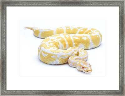 Albino Royal Python Framed Print by Michel Gunther
