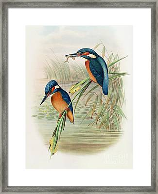 Alcedo Ispida Plate From The Birds Of Great Britain By John Gould Framed Print by John Gould William Hart
