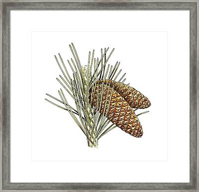 Aleppo Pine (pinus Halepensis) Cones Framed Print by Science Photo Library
