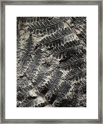 Alethopteris Seed Fern Fossil Framed Print by Gilles Mermet