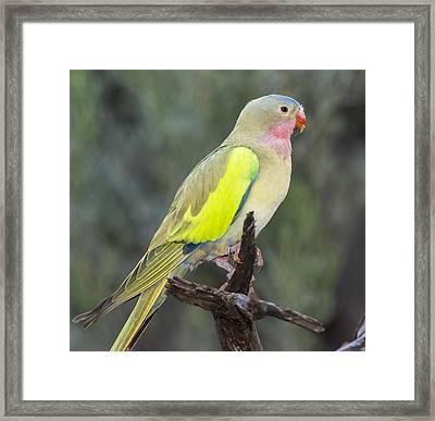 Alexandras Parrot Alice Springs Framed Print by D. Parer & E. Parer-Cook