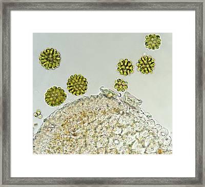 Algae And Protist Framed Print by Marek Mis