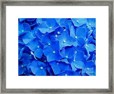 All Summer Beauty - Hydrangea Macrophylla Framed Print by Hanza Turgul