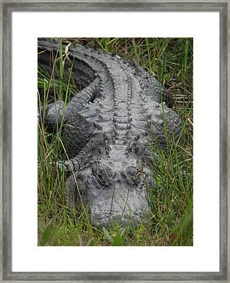 Alligator 0089 Framed Print by Rudy Umans