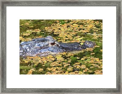 Alligator -31 Framed Print by Rudy Umans